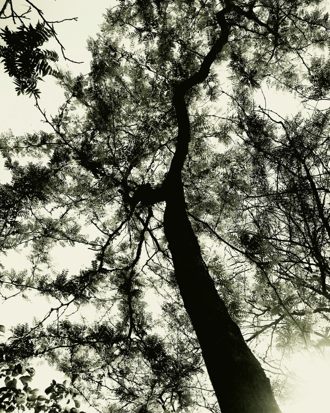 Gleditsian Skyline är Björns vackraste träd.