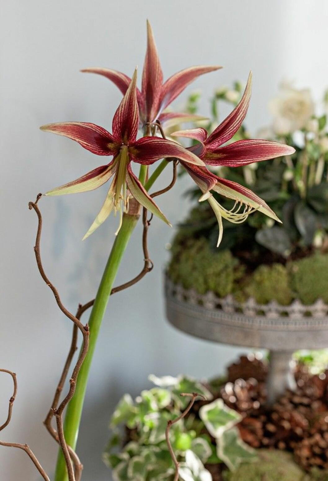 Smala kronblad. Spindelamaryllisen är härlig med sina smäckra tvåfärgade kronblad.