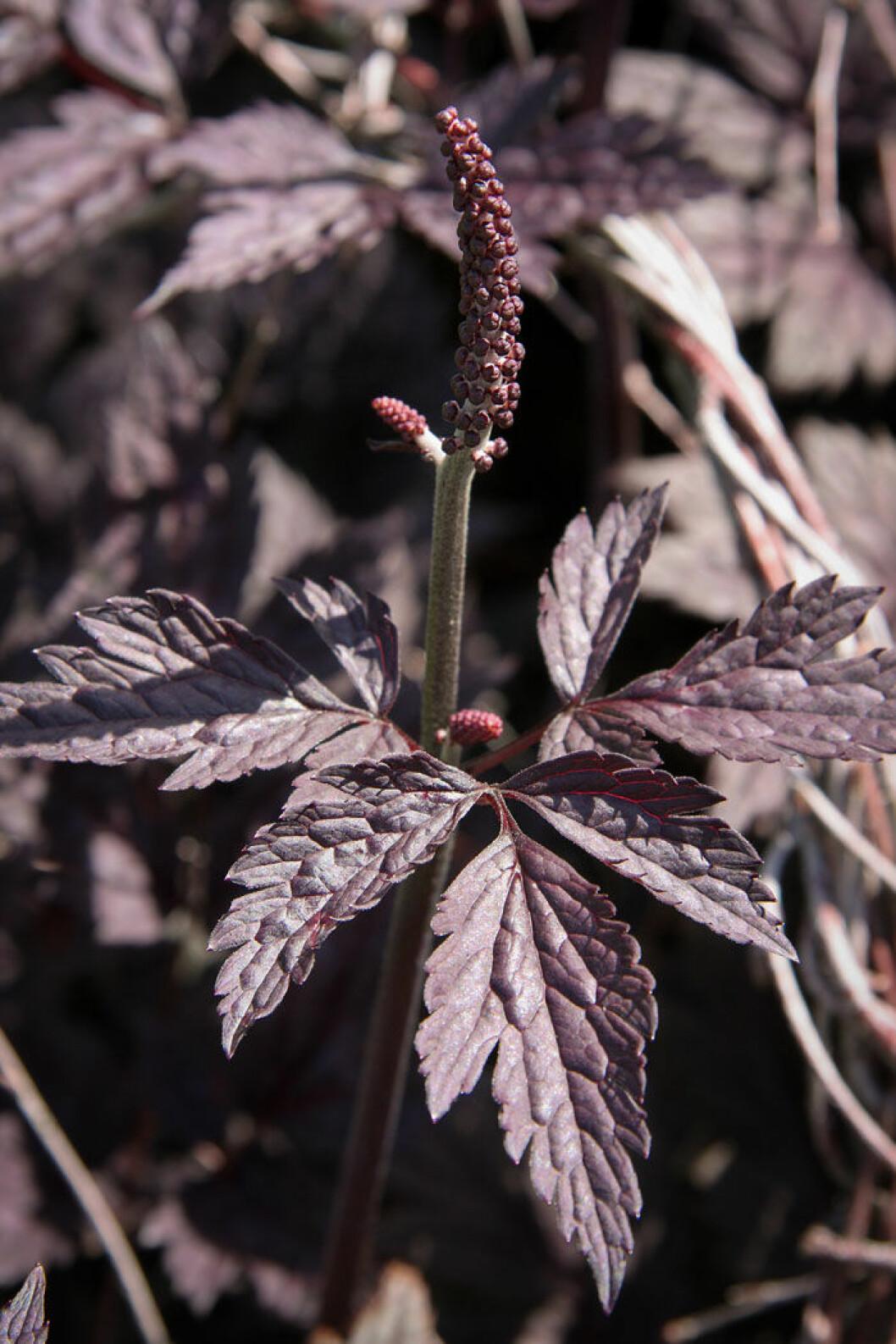 Höstsilverax, Actaea simplex 'Brunette'. Foto: Shutterstock.
