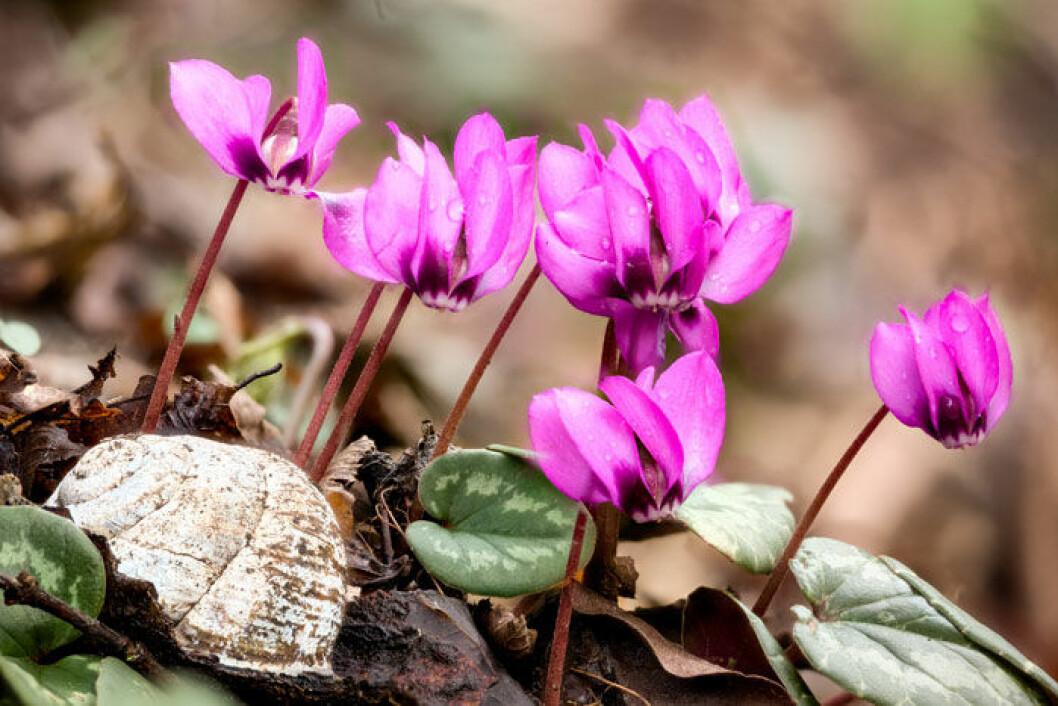 Rosa cyklamen. Foto: Shutterstock.