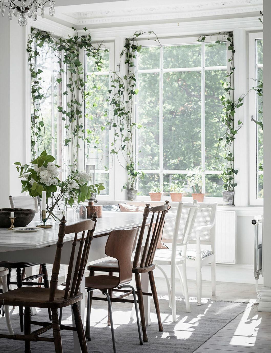 Gröna gardiner med klätterväxter i fönstret