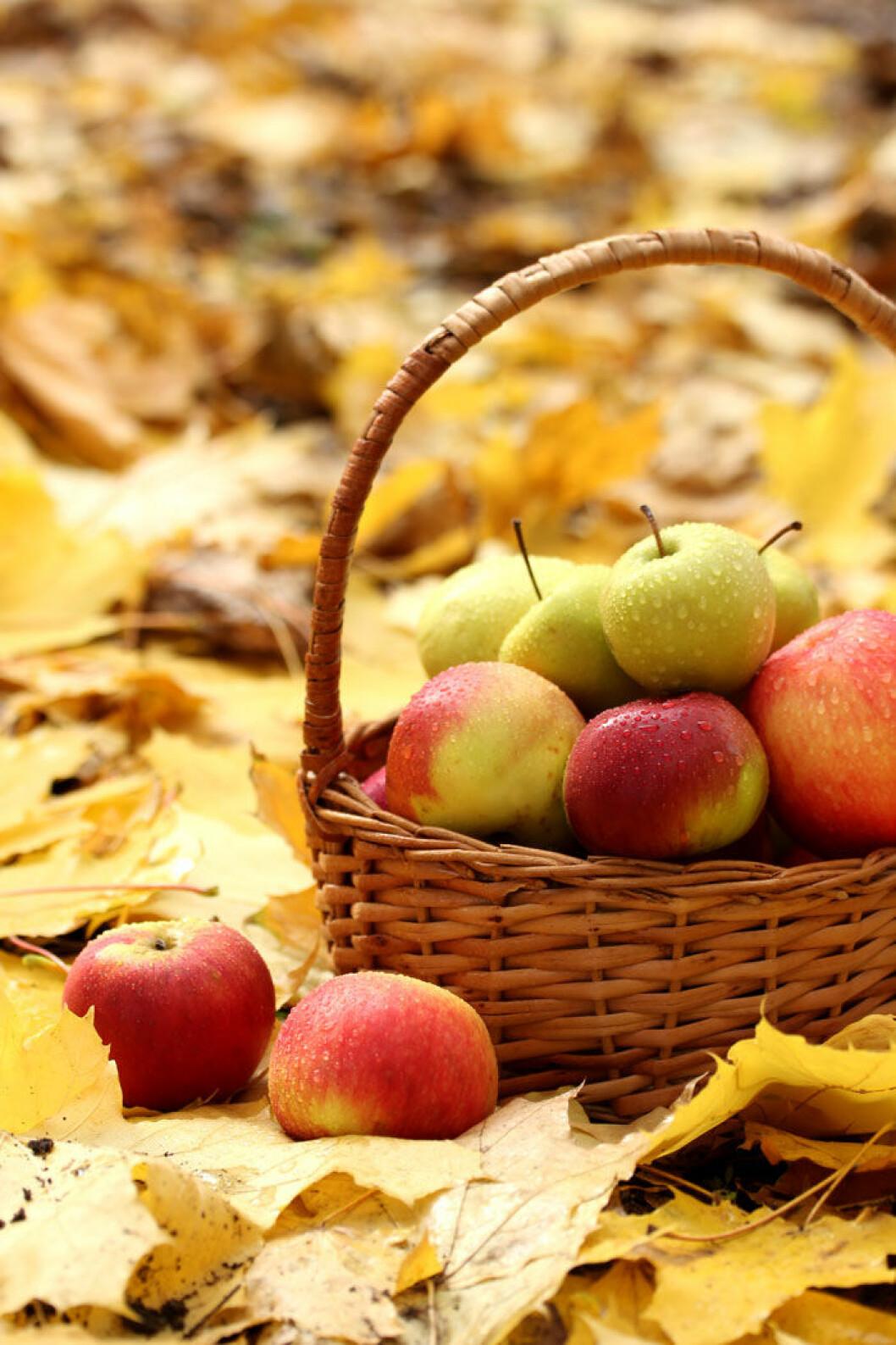 Gula löv och äpplen i en korg. Foto: Shutterstock.
