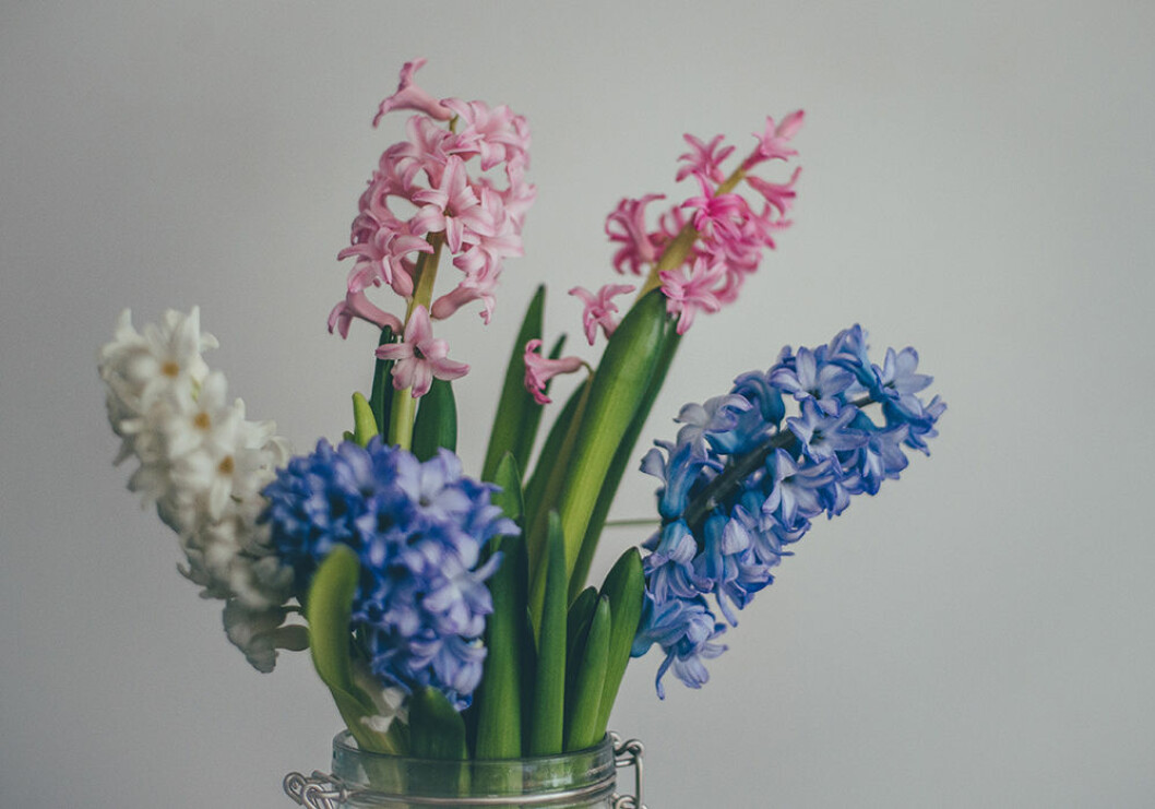 Hyacinter i rosa, vitt och blått i vas