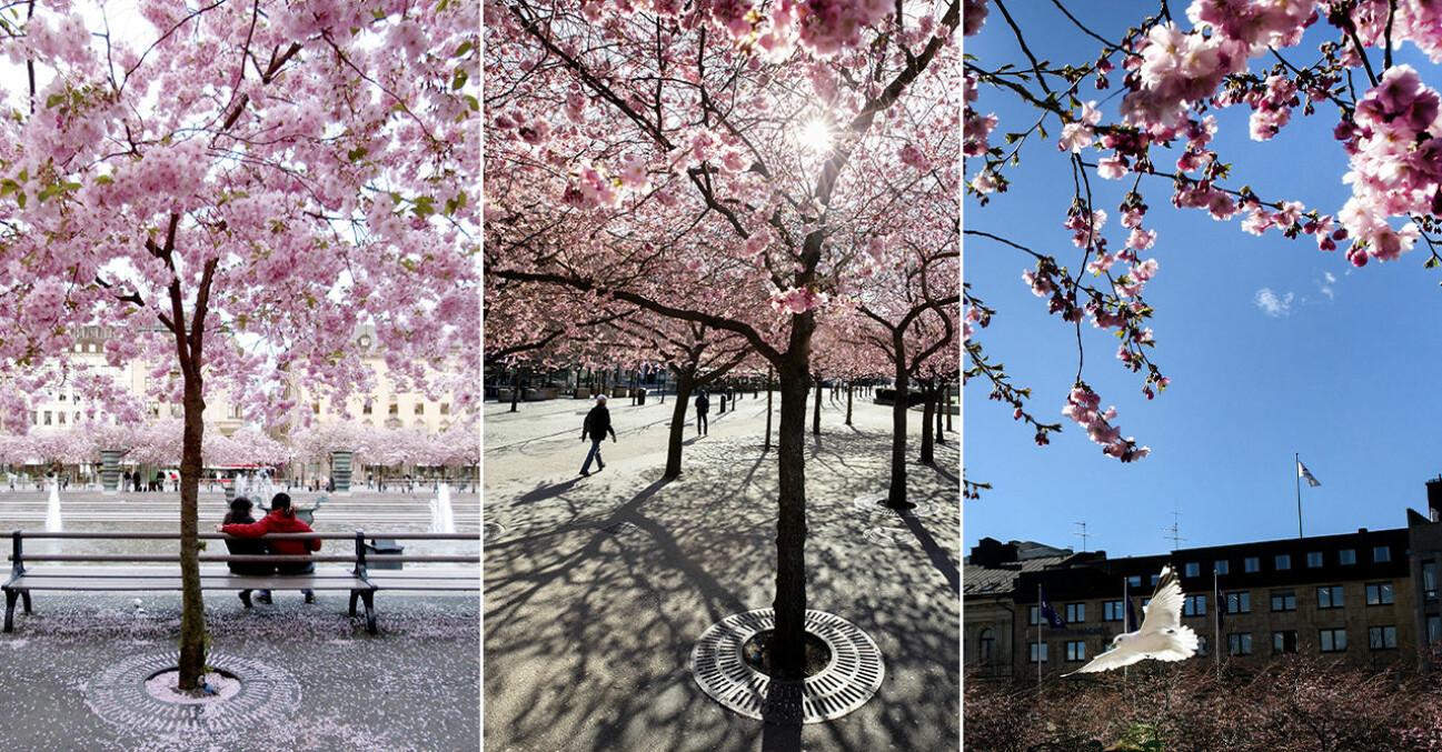 Japanska körsbärsträd Stockholm Kungsträdgården