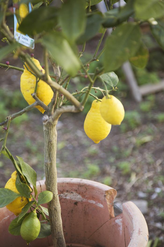 Trendiga medelhavsväxter för balkong och uteplats, citronträd