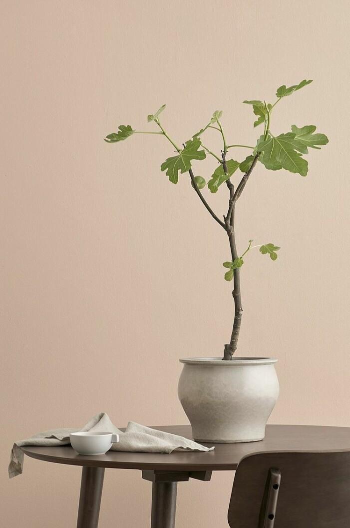 Medelhavsväxter som är trendiga 2021, fikonträd