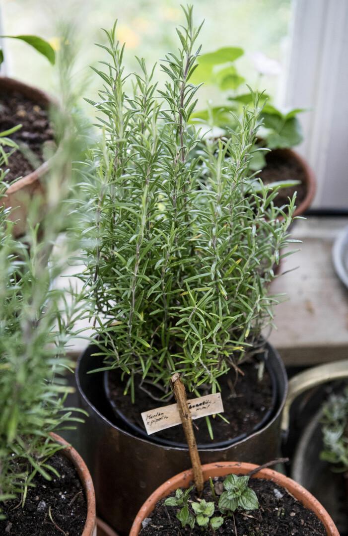 Medelhavsväxter att odla på balkong och uteplats, rosmarin
