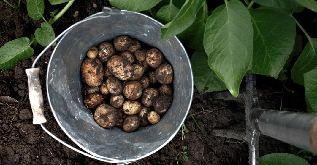 Allt du behöver veta om att odla potatis