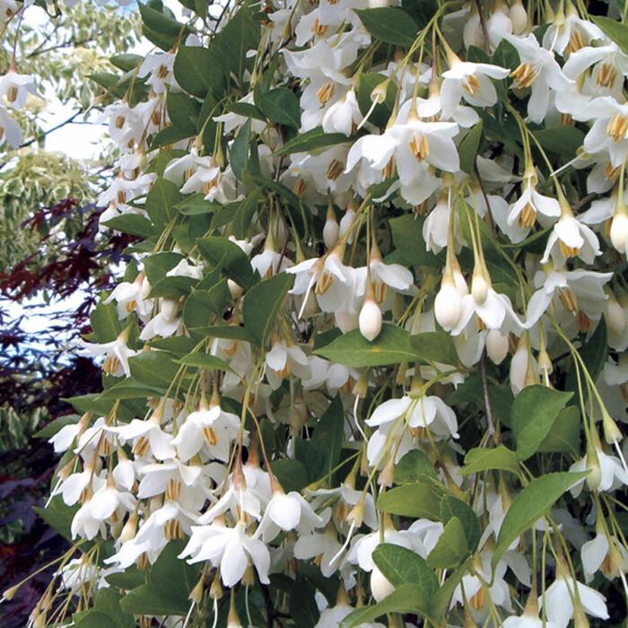 Odla träd i kruka succépodden tipsar om Styrax fragrant fountain