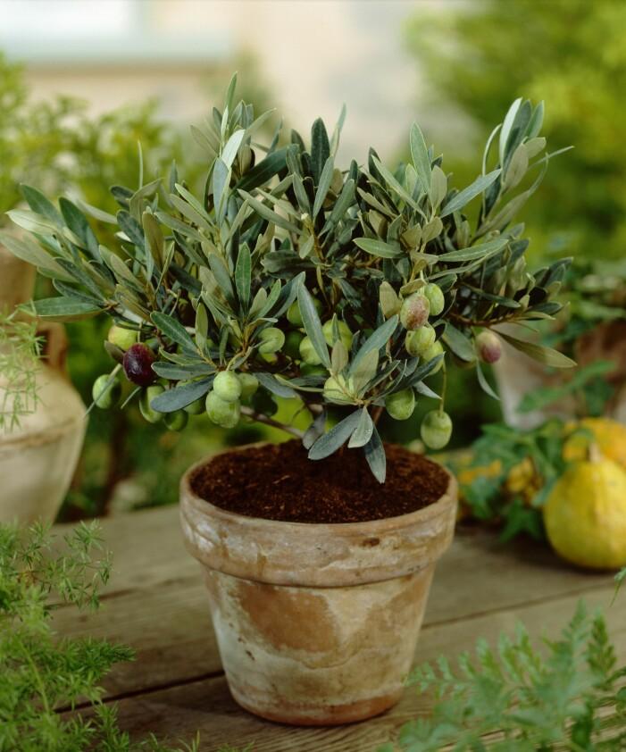 Plantera olivträd på balkongen