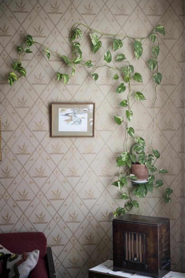 Så fäster du din växtgardin i fönstret eller på väggen