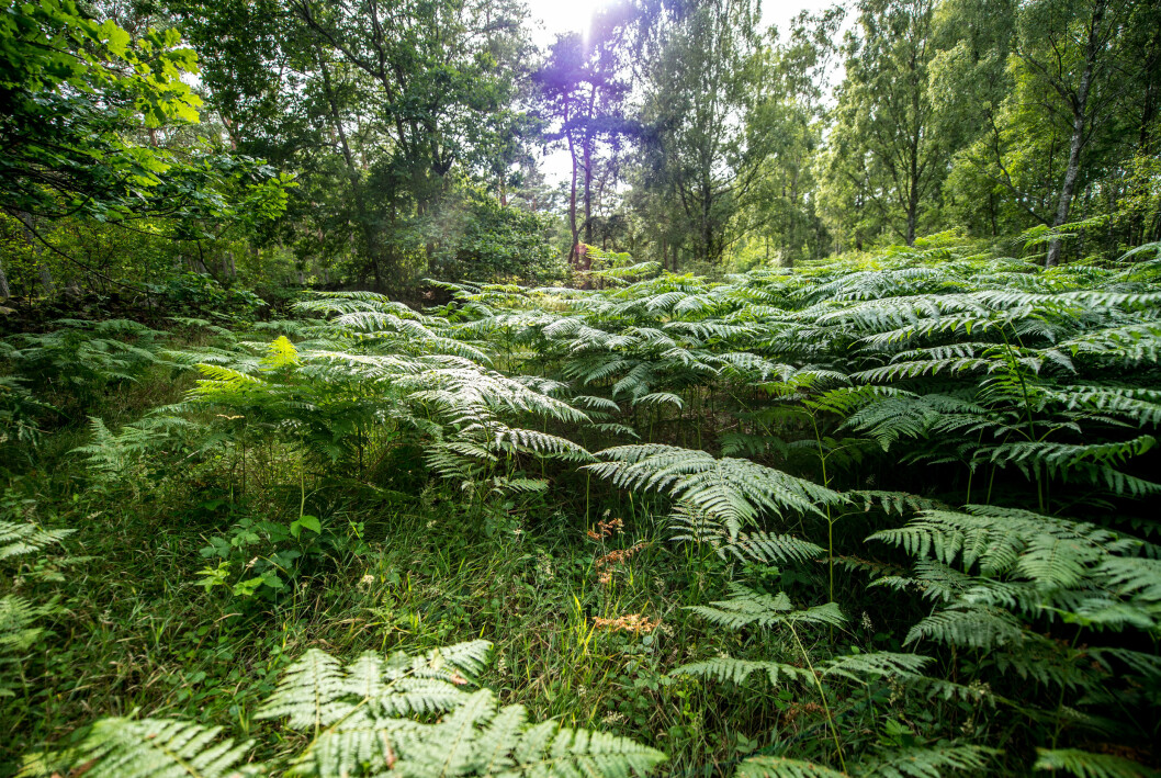 Ormbunkar i skogen.