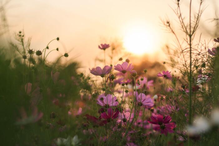 Blommor i solnedgången