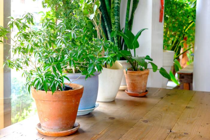 Växter stående på ett bord inomhus