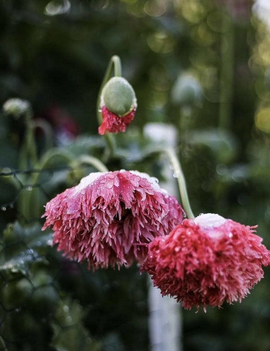 Blommande vallmo.