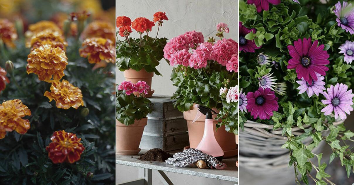 Tåliga och trendiga växter för balkongen