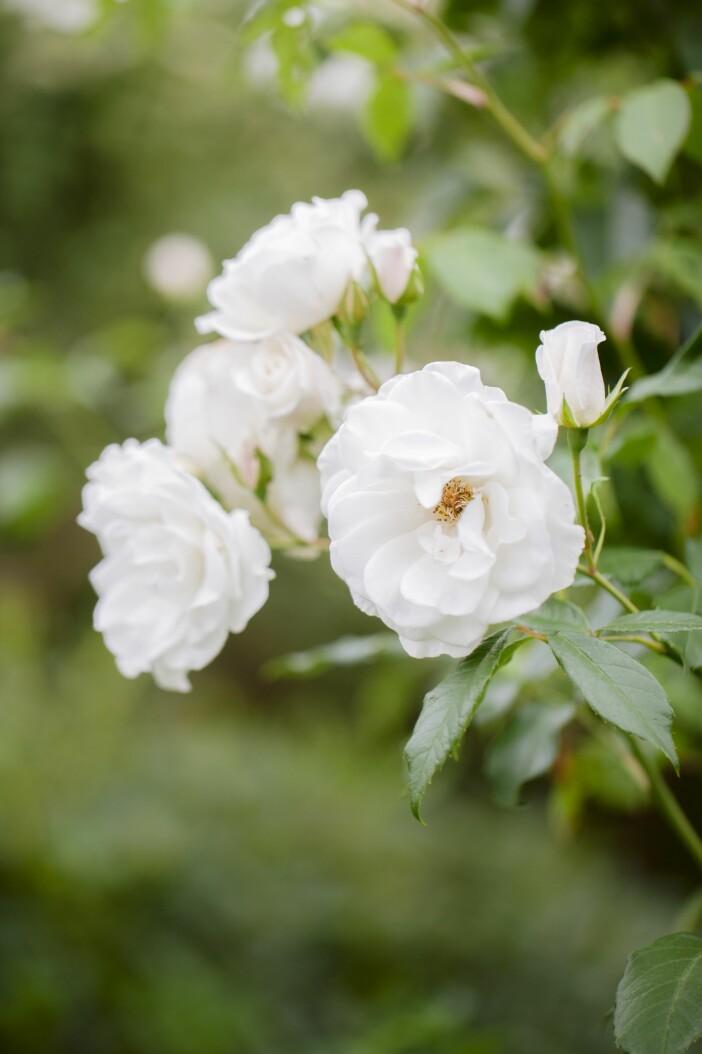 Trädgården i Lomma vit ros