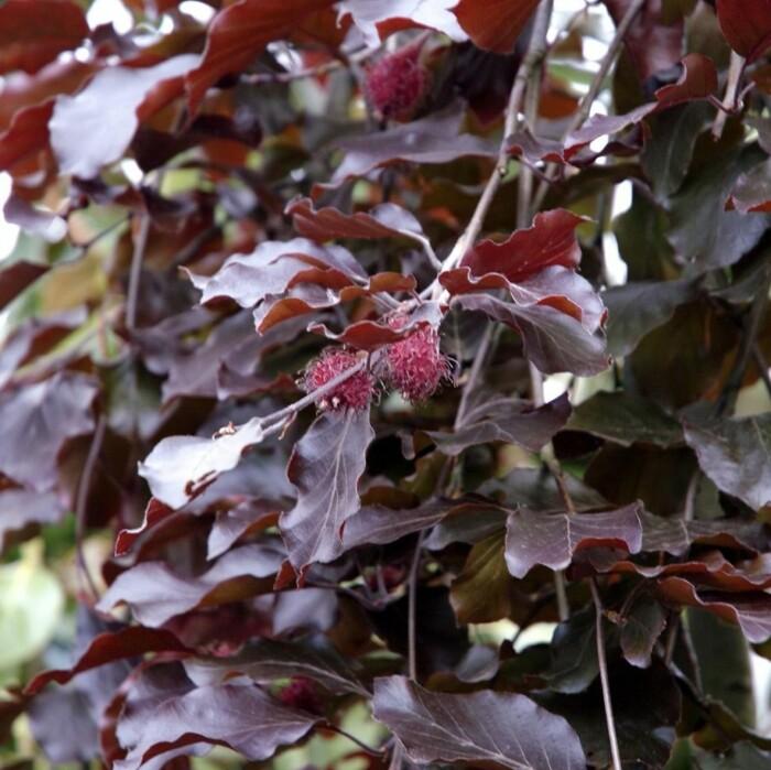 Trädgård häck tips Jenny Strömstedt Victoria Skoglund rödbladig bokhäck