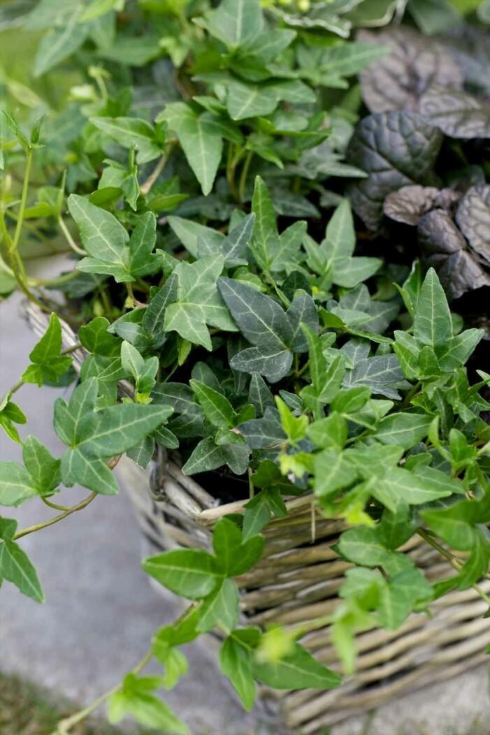 Plantera murgröna på balkongen