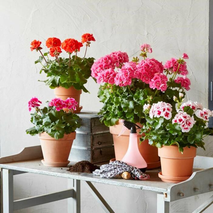 Pelargon är en tålig växt för balkongen
