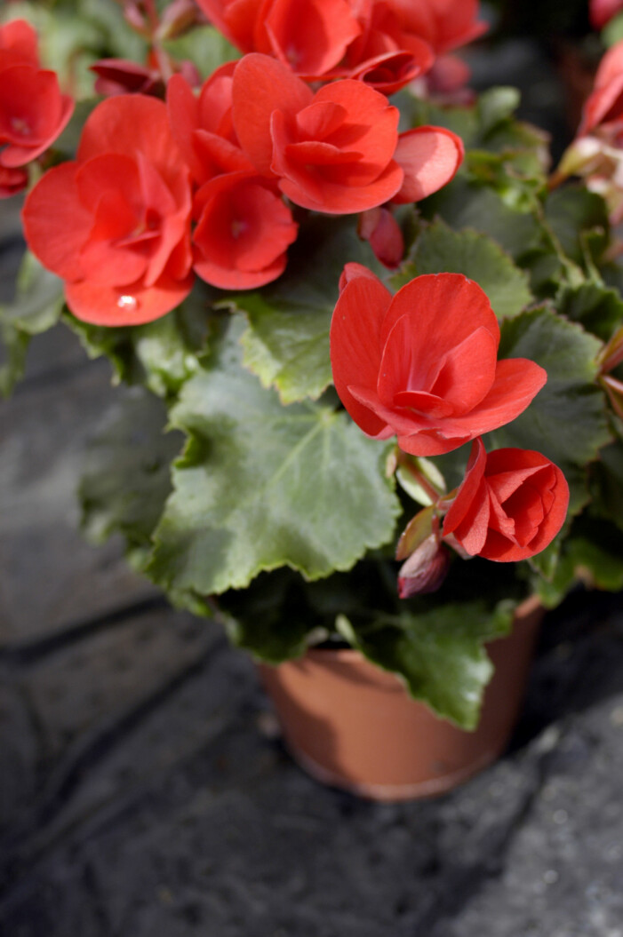 Begonia är en tålig blomma att ha på balkongen