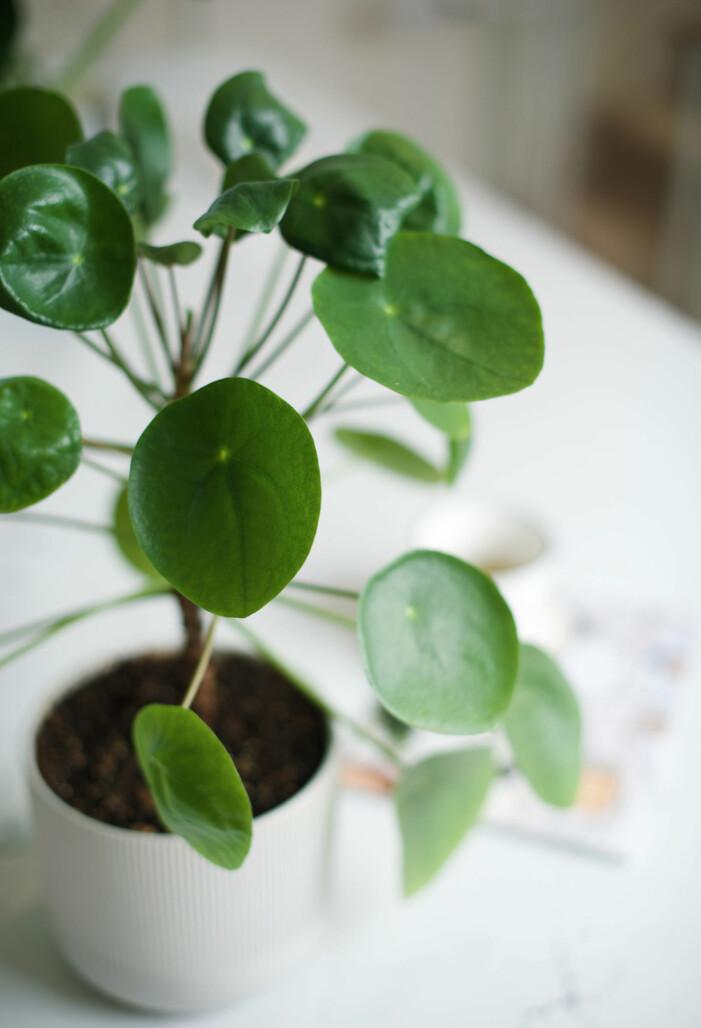 Trendige Zimmerpflanzen 2021, Elefantenohr