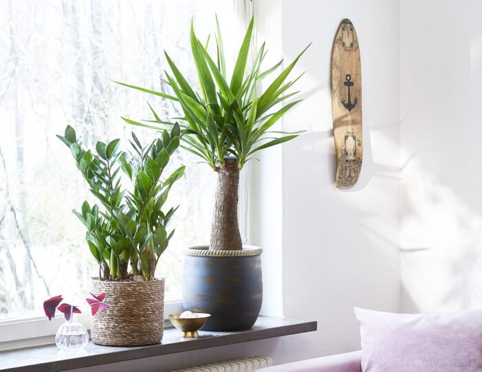 Trendige Zimmerpflanzen 2021, Garderobenblume