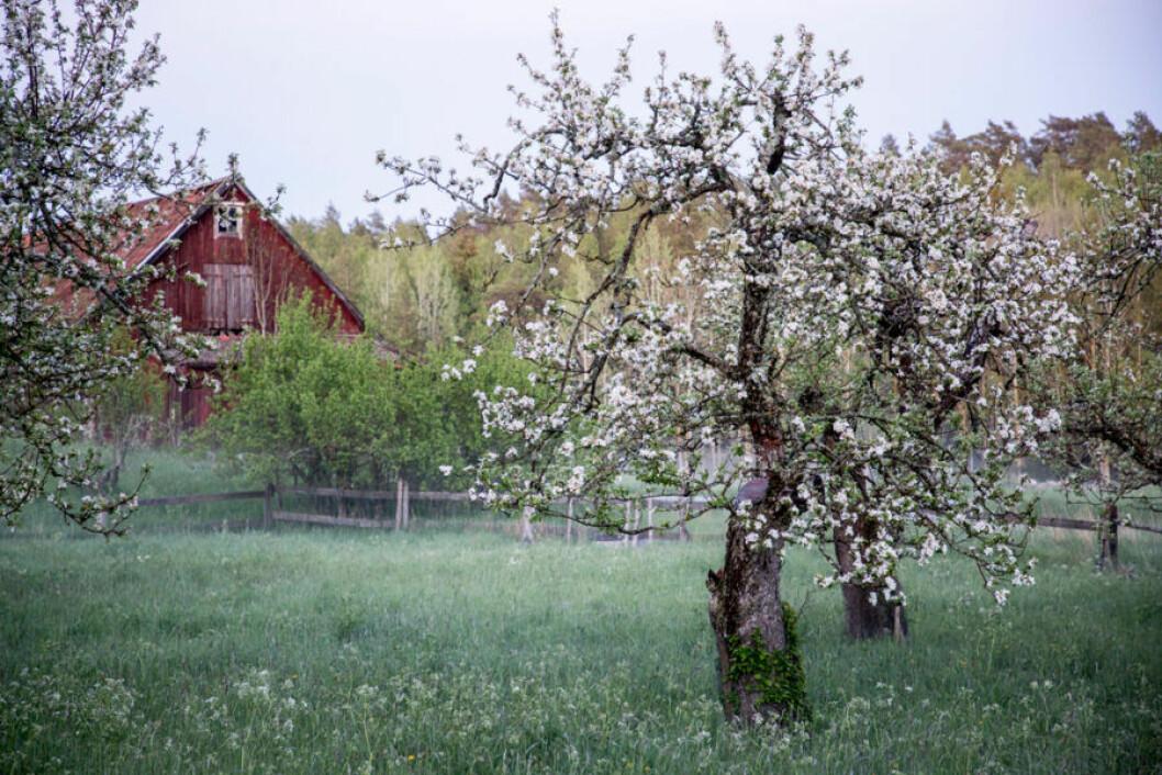 Trädgård äppelträd