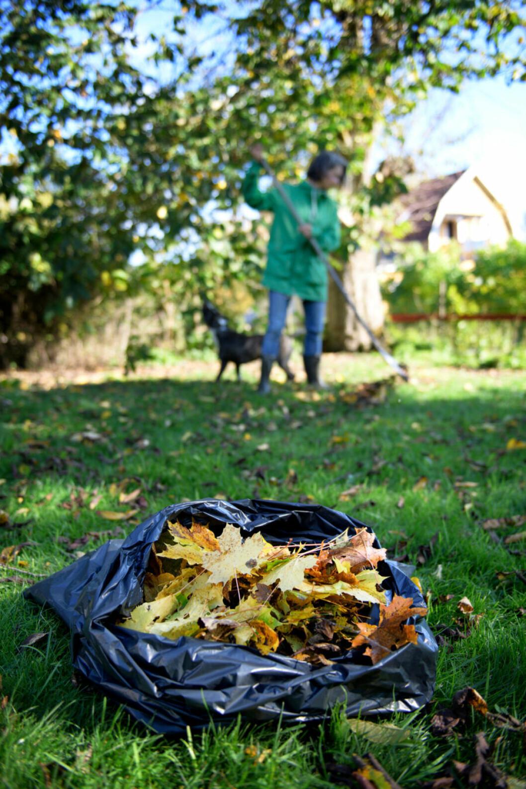 Trädgård kratta löv