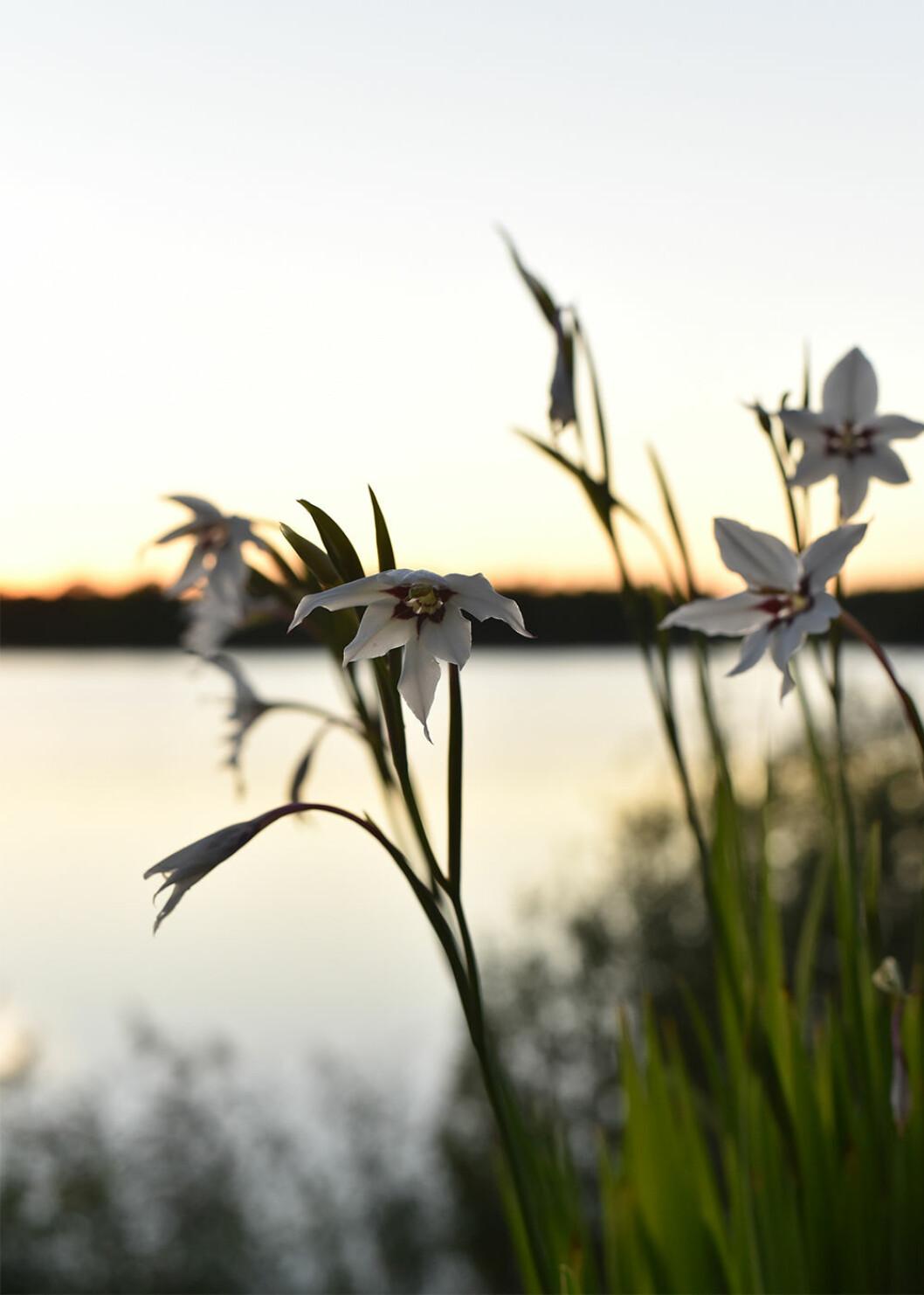 Doftlilja fotograferad av Victoria Skoglund